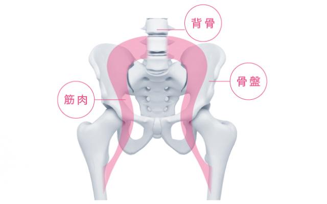 骨盤 背骨 筋肉の図